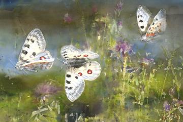 Apollofjärilar, Akvarell 102×152