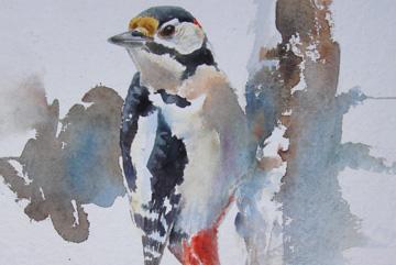 Hackspett, Akvarell 56×43