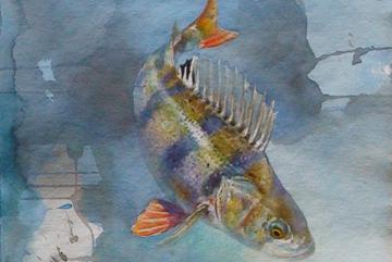 Abborre, Akvarell. 01 78×42