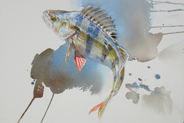 Abborre, Akvarell 76×42
