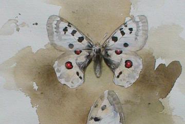 Apollofjäril, Akvarell b2 30×20