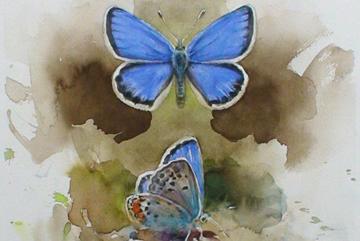 Blåvinge, Akvarell 30×20