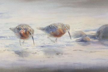 Spovsnäppor Akvarell 60 x 105