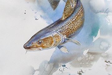 Torsk Akvarell 76 x 56